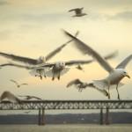"Brian Wolfe, ""Feeding the Birds,"" gulls swarming with the Hamilton Fish bridge in the distance."